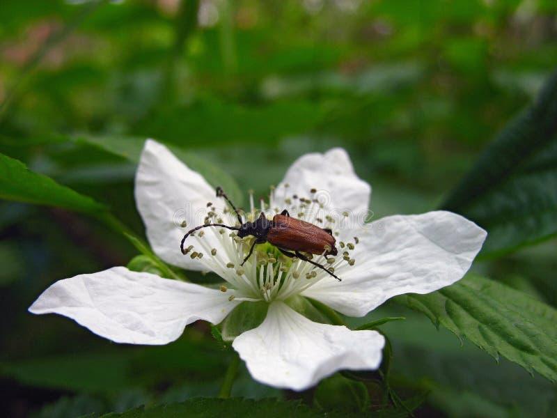 Plan rapproché d'une fleur blanche simple de mûre avec le scarabée rouge photographie stock libre de droits