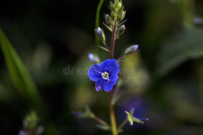Plan rapproché d'une fleur bleue de véronique photographie stock