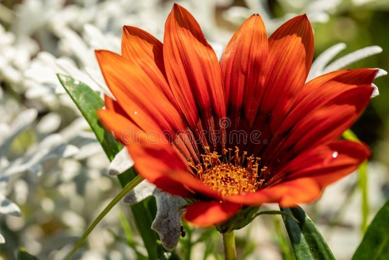 Plan rapproché d'une fleur de floraison avec les pétales rouges lumineux fleur Rouge-orange sur un fond naturel brouillé photographie stock