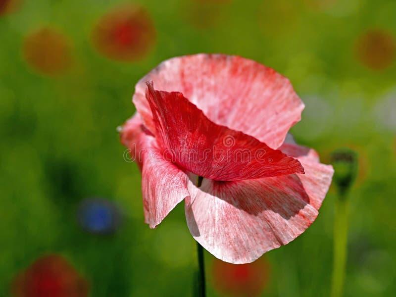 Plan rapproché d'une fleur de floraison rouge de pavot photo stock