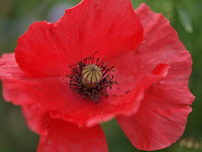Plan rapproché d'une fleur de floraison simple de pavot photos libres de droits