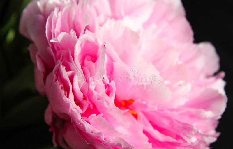 Plan rapproché d'une fleur de pivoine image stock