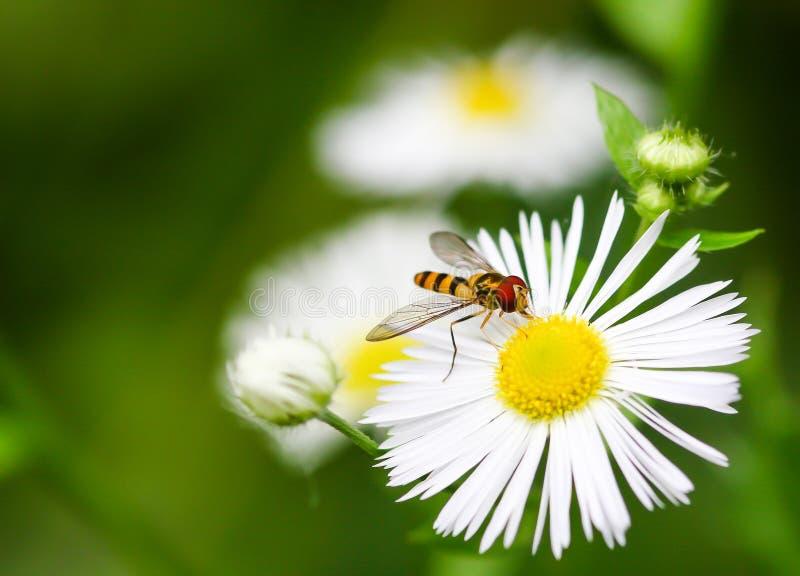 Plan rapproché d'une fleur-mouche sur une fleur comme une marguerite photos stock