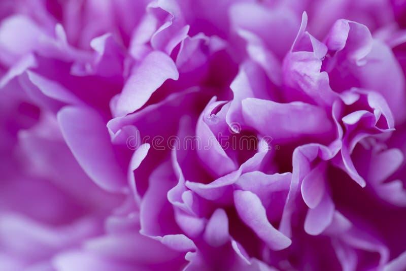 Plan rapproché d'une fleur rose de pivoine Peut être employé comme fond Foyer sélectif photo stock