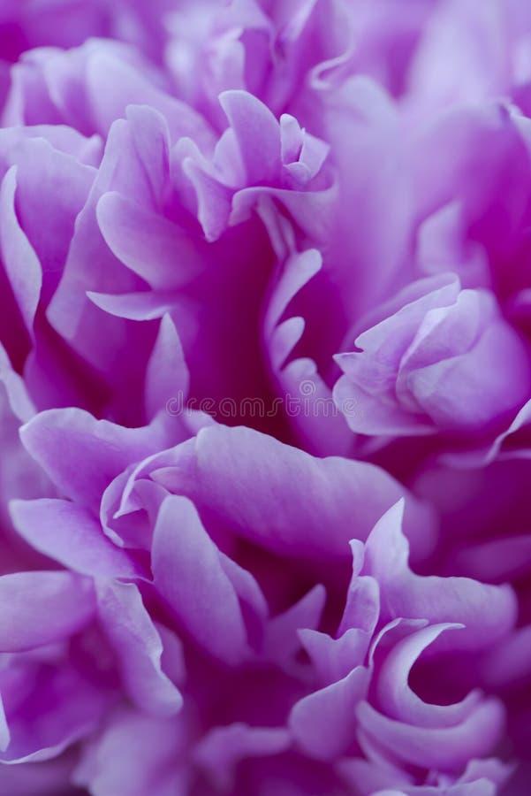Plan rapproché d'une fleur rose de pivoine Peut être employé comme fond Foyer sélectif photos stock