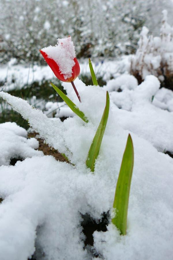Plan rapproché d'une fleur rouge de tulipe couverte dans la neige photo stock