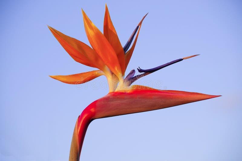 Plan rapproché d'une fleur spectaculaire d'oiseau-de-paradis avec le fond bleu-clair image stock