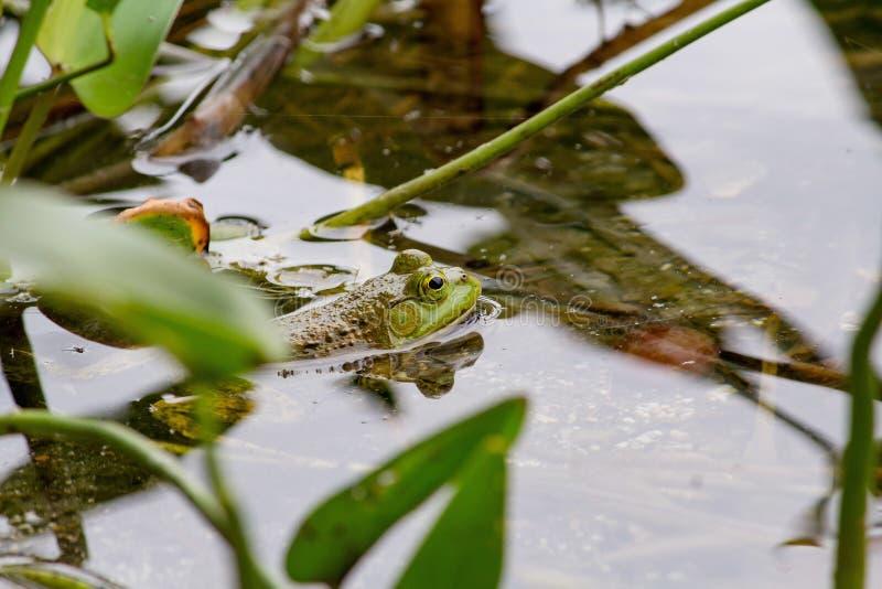 Plan rapproché d'une grenouille verte nageant dans l'eau près des usines photographie stock