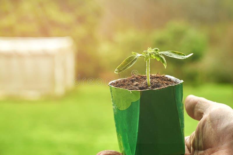 Plan rapproché d'une jeune plante végétale dans un pot se tenant par la main masculine photographie stock