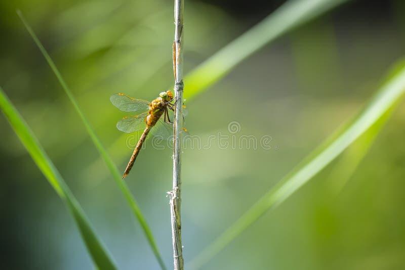Plan rapproché d'une libellule aux yeux verts de colporteur, isoceles d'Aeshna image libre de droits
