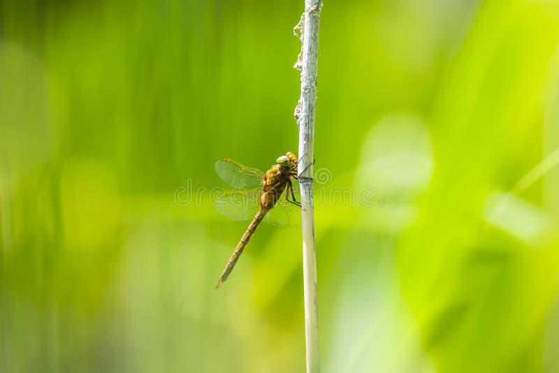 Plan rapproché d'une libellule aux yeux verts de colporteur, isoceles d'Aeshna photographie stock