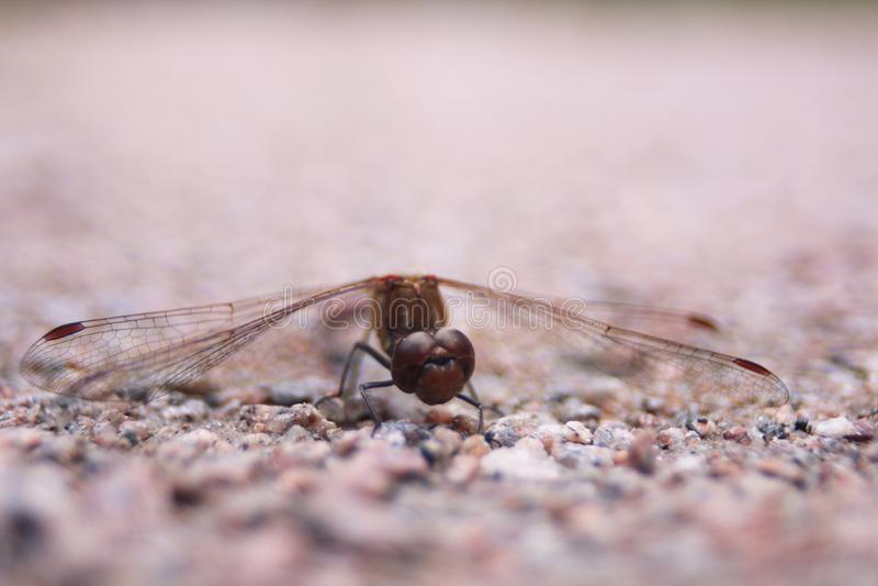 Plan rapproché d'une libellule photographie stock libre de droits