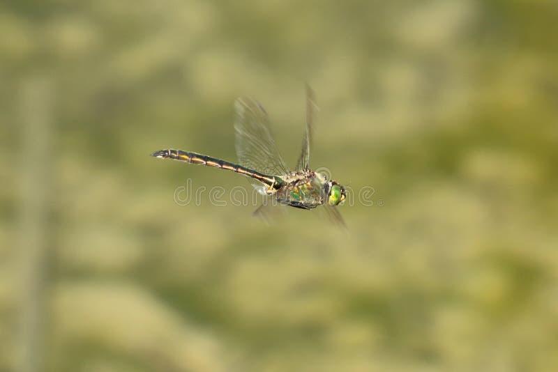 Plan rapproché d'une libellule en vol image stock