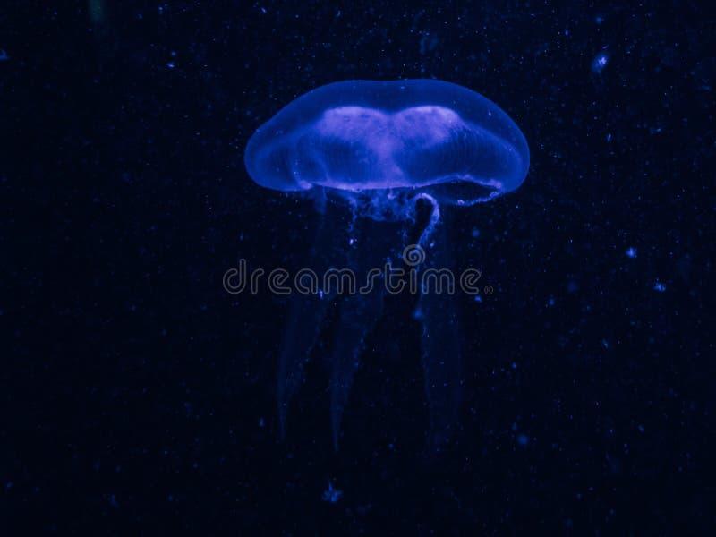 Plan rapproché d'une méduse bleue dans l'eau bleu-foncé photo libre de droits