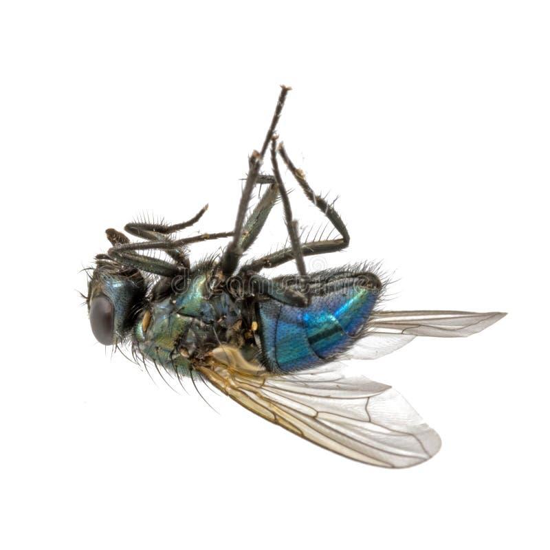 Plan rapproché d'une mouche morte se trouvant sur son dos images libres de droits