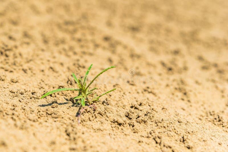 Plan rapproché d'une petite plante verte dans le sable du grand Sandhills de Saskatchewan, Canada photo stock