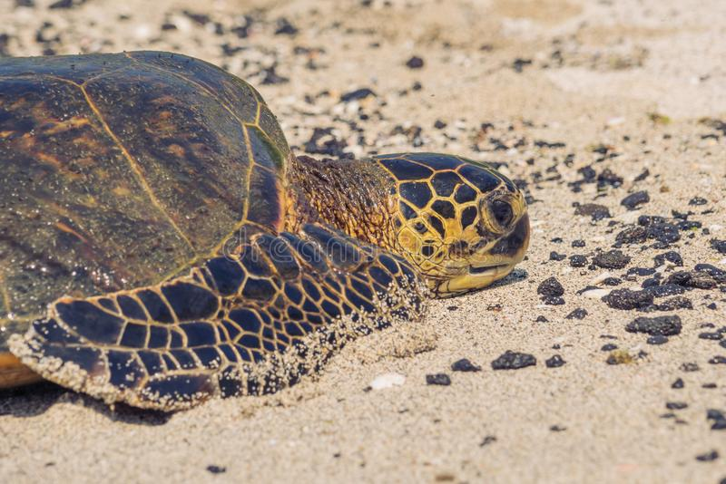 Plan rapproché d'une tortue de mer verte photos stock