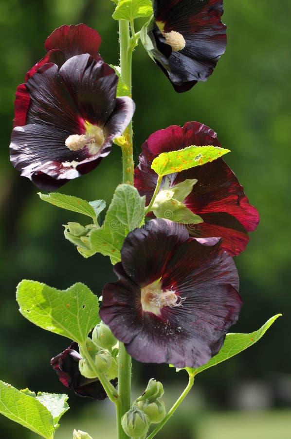 Plan rapproché d'une usine colorée foncée de rose trémière avec les fleurs de floraison photo libre de droits