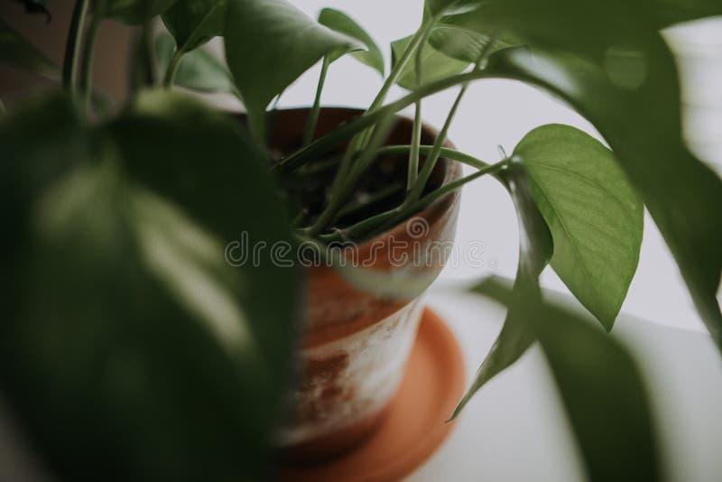 Plan rapproché d'une usine feuillue domestique dans un pot en céramique brun avec un fond blanc photo stock