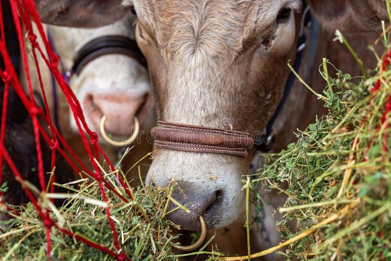 Plan rapproché d'une vache à exposition avant d'être jugé photographie stock libre de droits