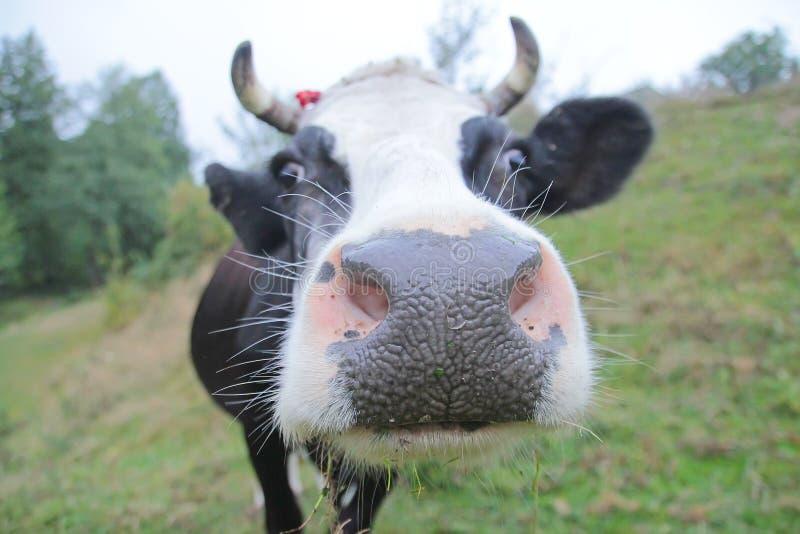 Plan rapproché d'une vache drôle sur des terres cultivables photos stock