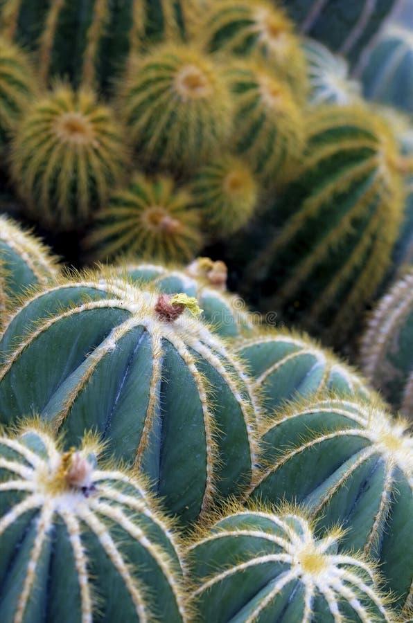 Plan rapproché d'usine de cactus de globe photos stock