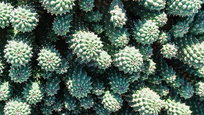 Plan rapproché d'usine de désert de cactus images libres de droits