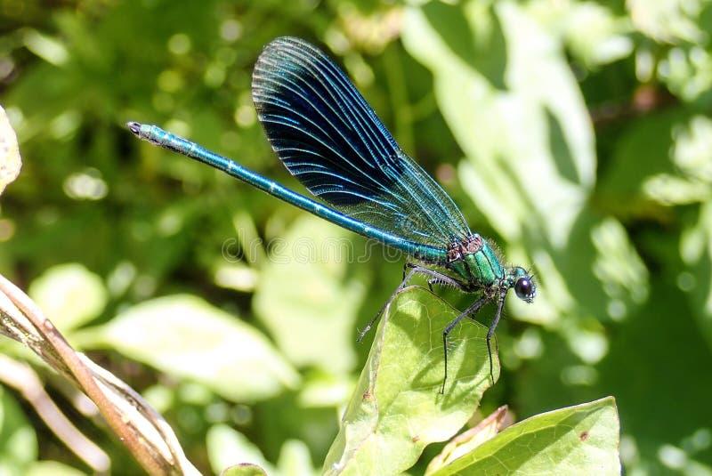 Plan rapproché de beau Damselfly vert-bleu métallique masculin sur des roseaux image libre de droits