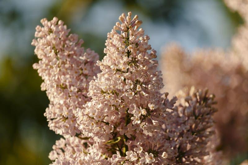 Plan rapproché de beau lilas pourpre de floraison sous le ciel bleu photos libres de droits
