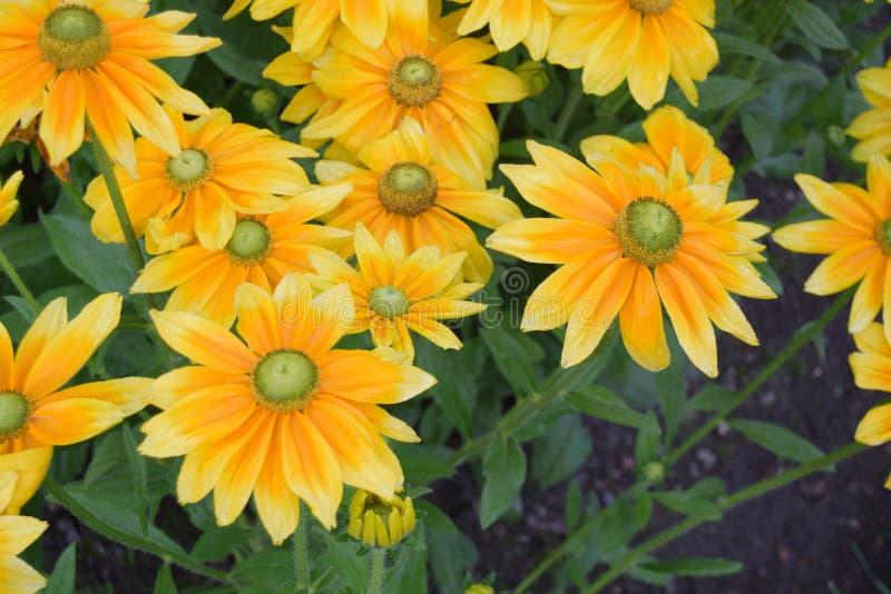 Plan rapproché de beaux tournesols jaunes images stock