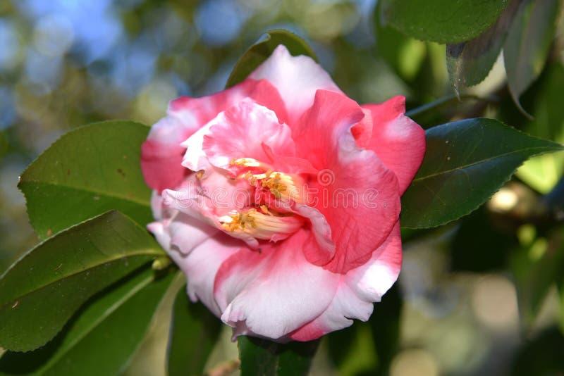 Plan rapproché de belle fleur rose de camélia photo libre de droits