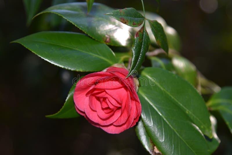 Plan rapproché de belle fleur rouge de camélia image libre de droits