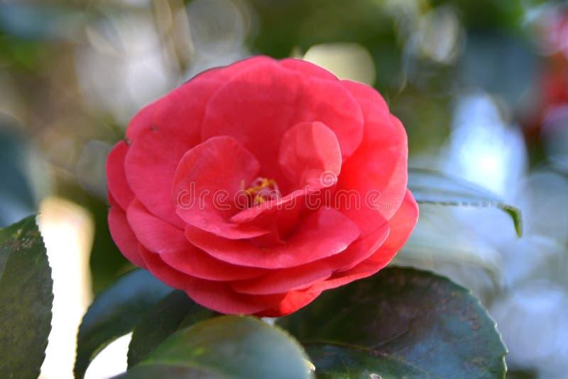Plan rapproché de belle fleur rouge de camélia photographie stock libre de droits