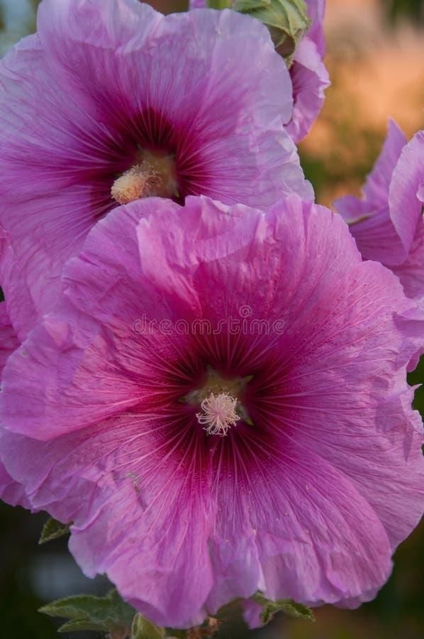 Plan rapproché de belles fleurs de rose trémière (rosea d'Althaea) photo libre de droits