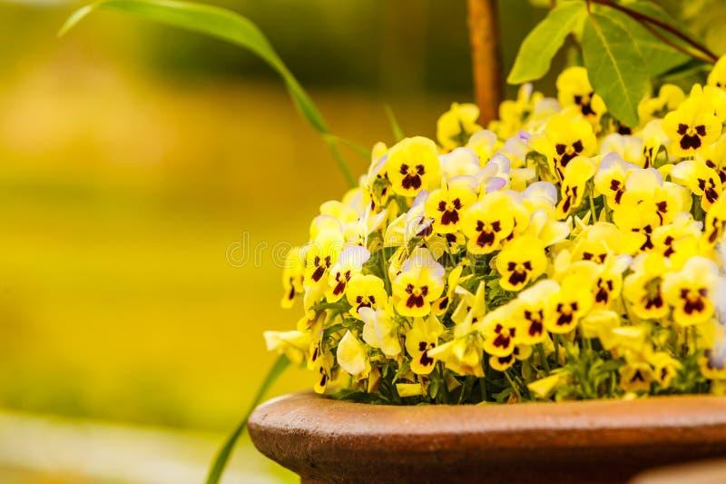 Plan rapproché de belles fleurs jaunes, pensées image libre de droits
