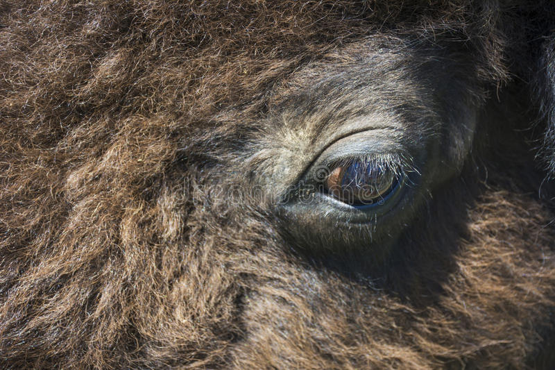 Plan rapproché de Bison Buffalo Eye images stock
