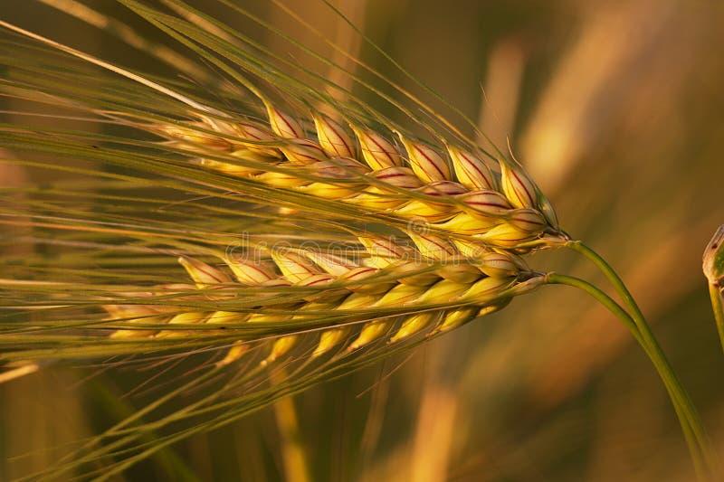 Plan rapproché de blé d'or image libre de droits