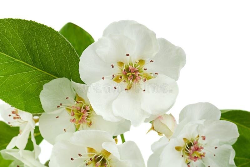 Plan rapproché de branche de fleur de poire sur le blanc photographie stock