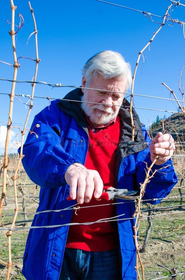 Portrait de branche masculine supérieure de vigne d'élagage dans un vignoble images stock