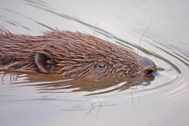 Plan rapproché de castor de natation photos libres de droits