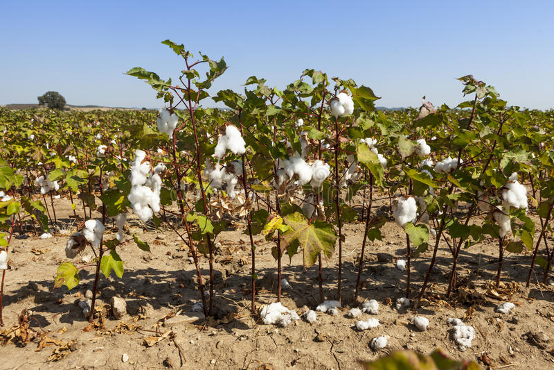 Plan rapproché de centrale de coton sous la lumière du soleil photos stock
