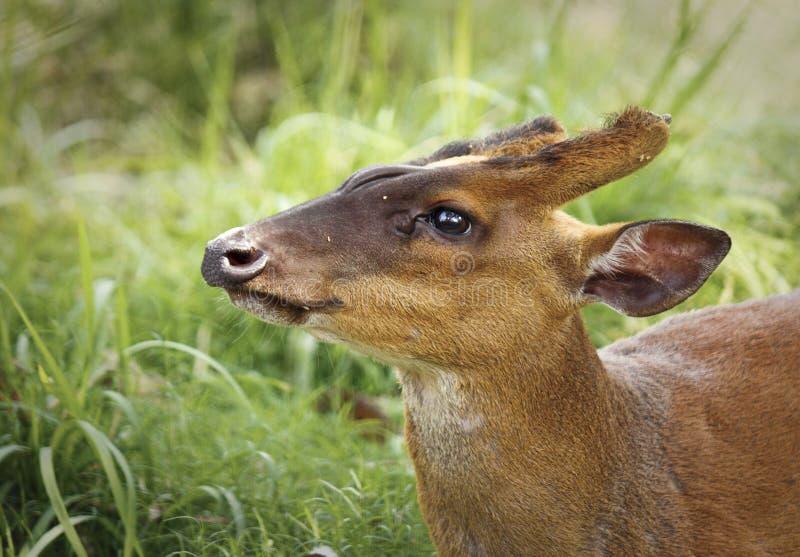 Plan rapproché de cerfs communs d'écorcement photo libre de droits