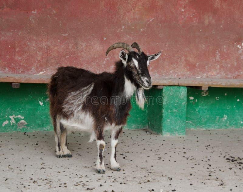 Plan rapproché de chèvre domestique image stock