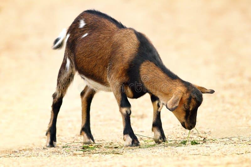 Plan rapproché de chèvre domestique photo stock