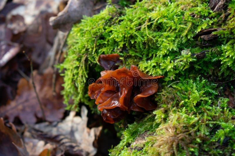 Plan rapproch? de champignon brun sur mossbed photographie stock libre de droits
