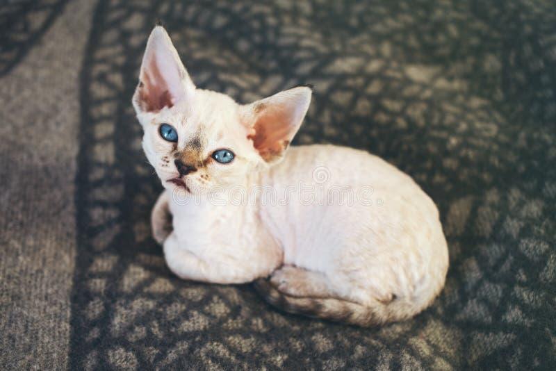 Plan rapproché de chaton de Devon Rex avec des yeux bleus images stock