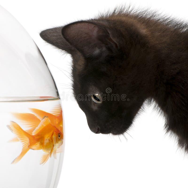 Plan rapproché de chaton noir regardant le Goldfish photo stock