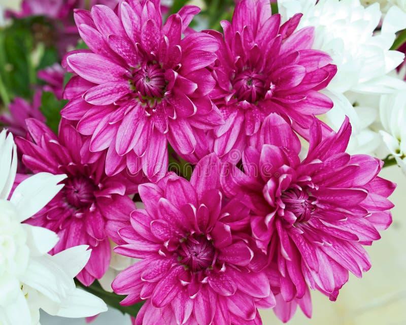 Plan rapproché de chrysanthèmes coloré par violette, fond naturel photos libres de droits