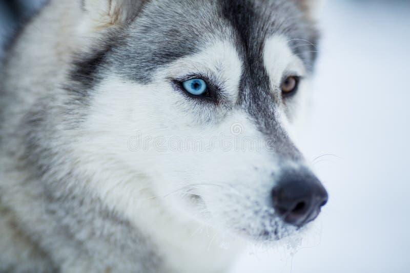 Plan rapproché de crabot de chien de traîneau sibérien images libres de droits