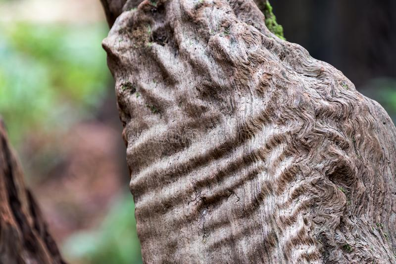 Plan rapproché de détails d'arbre de séquoia photos libres de droits